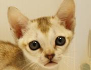 シンガプーラ ブリーダー 子猫  販売