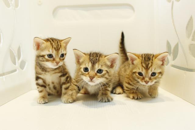 猫 ペットショップ【わんにゃん通り】子猫多数!