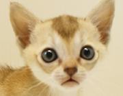 スコティッシュフォールド 子猫 販売