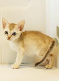 シンガプーラ 子猫 販売