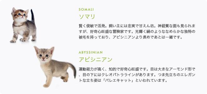 ソマリ/アビシニアン